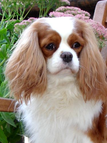 cavalier king charles spaniel rosebury handle with care