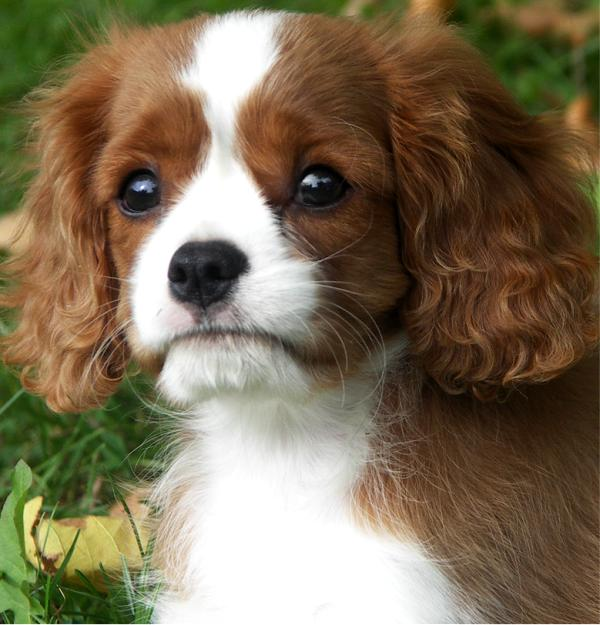 cavalier king charles spaniel rosebury double agent