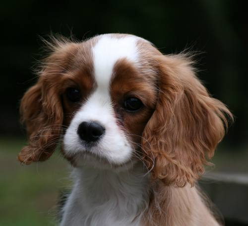 cavalier rosebury sea rose