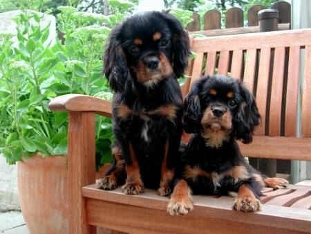cavalier king charles spaniel pepper & smokey