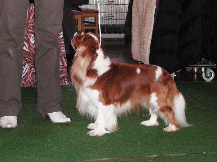 cavalier rosebury honey bear