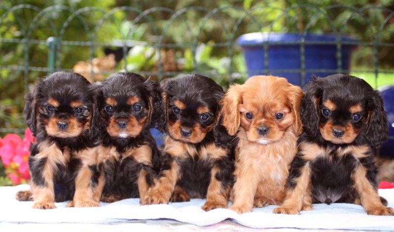 cavalier king charles spaniel black and tan und ruby