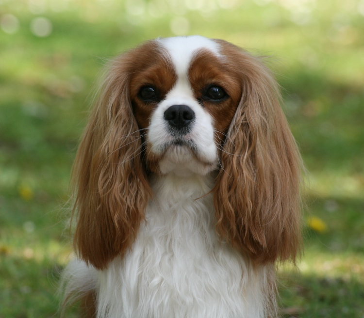 cavalier king charles spaniel rosebury hohenzollern. Black Bedroom Furniture Sets. Home Design Ideas